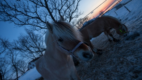 Norwegian horses posed for my camera