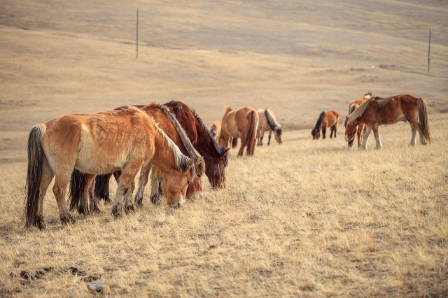 only normal Mongolian horses