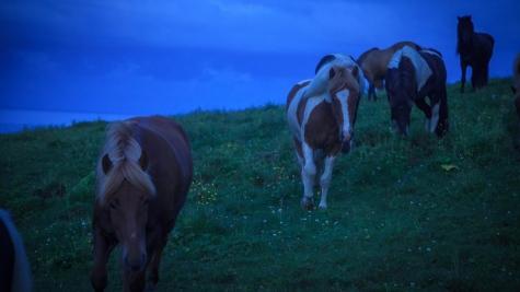 Icelandic horses near Vik, Southern Iceland
