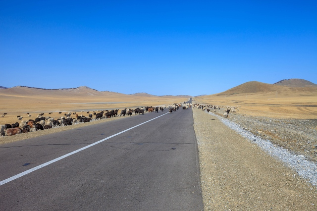 a zebra crossing.. eh.. I mean sheep crossing