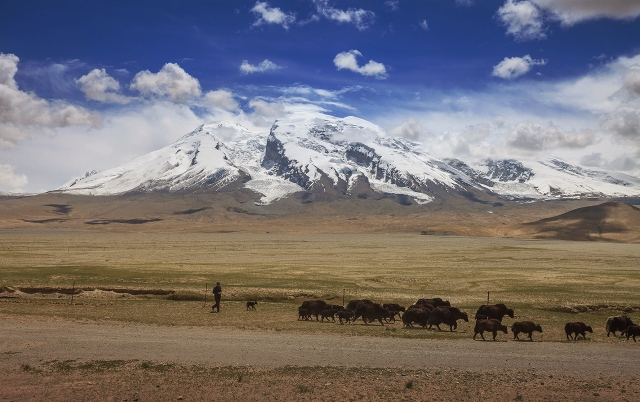 Kyrgyz with his yaks under the peak of Muztagh Ata