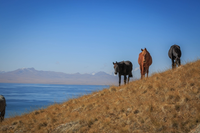 kyrgyz horses in the mountain and the Songkul lake in the far background