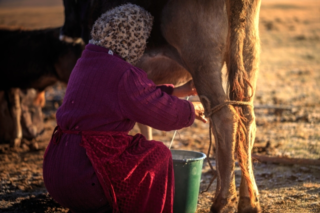 a local Kyrgyz woman milking her cow early morning
