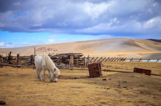 Unlimited food the Mongolian horses