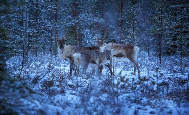 some wild reindeers in the Finnish forest near the Arctic circle
