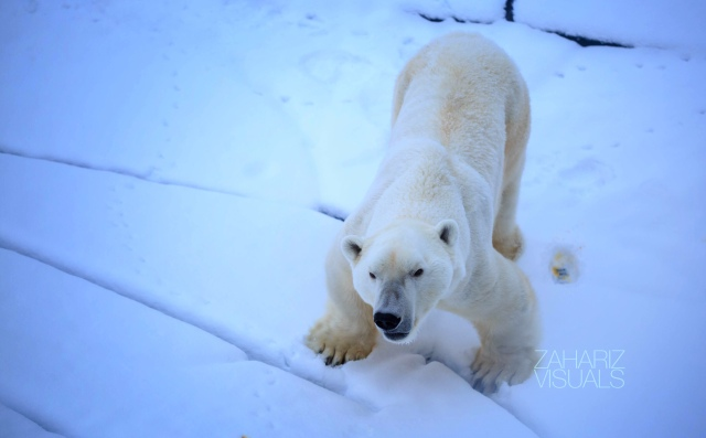 a forever hungry polar bear!