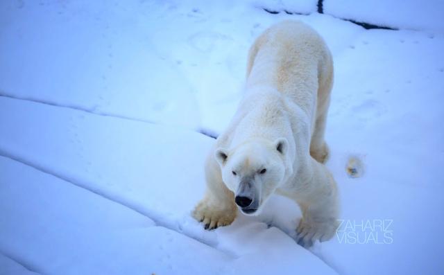 a forever hungry polar bear!