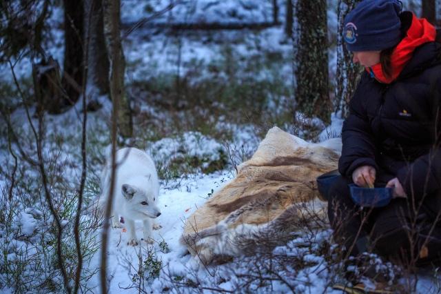 Heidi is feeding an Arctic fox!
